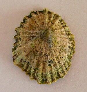 Siphonariidae - Dorsal view of a shell of Siphonaria zelandica