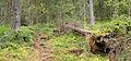 Sippulanniemi nature trail - fallen tree.jpg