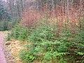 Sitka Spruce self-seeded.JPG