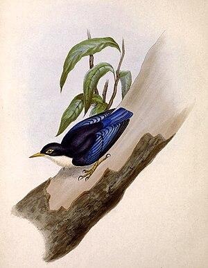 David William Mitchell - Illustration of Sitta azurea nigriventer by Mitchell in The Genera of Birds, 1844–1849