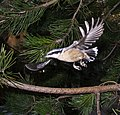 Sitta canadensis flying.jpg