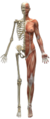 Skeleton and muscles.png
