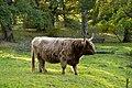 Skotsk höglandsboskap.jpg