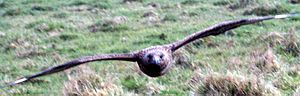 Papa Stour - A bonxie or great skua, (Stercorarius skua) in flight