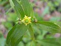 Small-flowered Crowfoot (Ranunculus abortivus) - Flickr - Jay Sturner.jpg