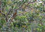 File:Smoky-brown Woodpecker (Veniliornis fumigatus) (5818992305).jpg