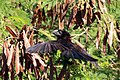 Smooth-billed ani (Crotophaga ani) To.jpg
