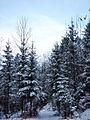 Smrekova šuma.jpg