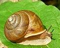 Snail (1037533775).jpg