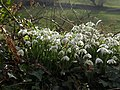 Snowdrops, Brownstone - geograph.org.uk - 1168155.jpg