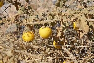 Solanum incanum - Image: Solanum incanum 002
