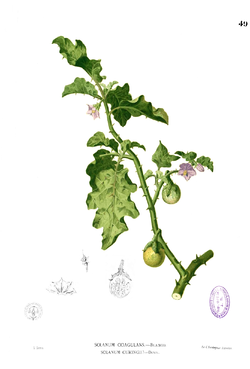 Solanum sp Blanco1.49.png