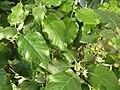 Solanum vespertilio.jpg