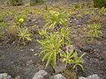 Sonchus canariensis (San Antonio) 01.jpg