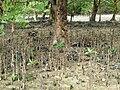 Sonneratia sp. Malaysia03.jpg