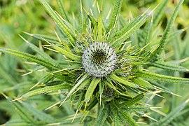 Speerdistel (Cirsium vulgare) 03.jpg