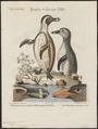 Spheniscus demersus - 1700-1880 - Print - Iconographia Zoologica - Special Collections University of Amsterdam - UBA01 IZ17800209.tif