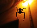 Spider hanging from web.JPG