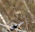 Spider moves in for the Kill (3821955855).jpg