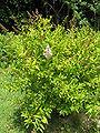 Spiraea salicifolia2.jpg