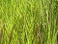 Sporabulus virginicus 1zz.jpg