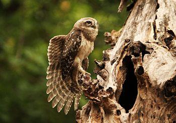 Spotted Owlet Wings.jpg