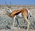 Springbok Namibia.jpg
