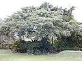 Starr-010420-0123-Ficus benjamina-habit-Kahului-Maui (24164581849).jpg