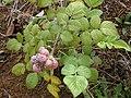 Starr-010423-0039-Rubus niveus-form a fruits and leaves-Kula-Maui (24506211386).jpg