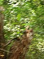Starr-050517-1564-Ficus macrophylla-habit-Puu o Hoku Ranch-Molokai (24467653150).jpg