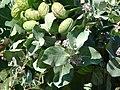 Starr-070207-4329-Calotropis procera-leaves flowers and seedpods-Maui Lani Kahului-Maui (24586643030).jpg