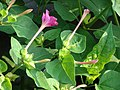 Starr-080601-5072-Mirabilis jalapa-flowers and leaves-Commodore Ave around residences Sand Island-Midway Atoll (24543734499).jpg