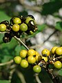 Starr-080601-5129-Solanum torvum-fruit being eaten by emerald beetles-Community garden Sand Island-Midway Atoll (24283302794).jpg