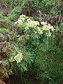 Starr-081230-0649-Montanoa hibiscifolia-small plant-Upper Kaulana-Kahoolawe (24833872661).jpg