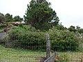 Starr-090430-6718-Roldana petasitis-hedge-Kula-Maui (24835244262).jpg