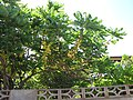 Starr-090714-2682-Phyllanthus acidus-fruiting habit-Napili-Maui (24342711013).jpg