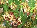 Starr-090720-2974-Tamarindus indica-flowers and leaves-Waiehu-Maui (24970007445).jpg