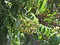 Starr-090721-3285-Dimocarpus longan-fruit and leaves-Wailuku-Maui (24602898949).jpg