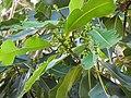 Starr-091104-0853-Atuna racemosa subsp racemosa-flower buds and leaves-Kahanu Gardens NTBG Kaeleku Hana-Maui (24869730612).jpg