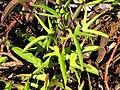 Starr-091222-0894-Ipomoea batatas-leaves-Lua Makika-Kahoolawe (24625148799).jpg