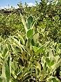 Starr-100623-7738-Ficus benjamina-variegated leaves-Pukalani Plant Company Pulehu-Maui (24674606619).jpg