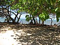 Starr-110312-6443-Thespesia populnea-after tsunami exposed roots sand eroded-Kanaha Beach-Maui (25053382836).jpg