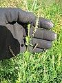 Starr-110405-4812-Melilotus indica-flowers and leaves-Kula-Maui (24964157862).jpg