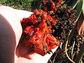 Starr-120403-4080-Aloe arborescens-flowers deformed by mites-Kula-Maui (24511552563).jpg