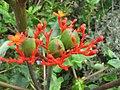 Starr-120606-7058-Jatropha podagrica-flowers and fruit-Laulima Farm Kipahulu-Maui (25051468951).jpg