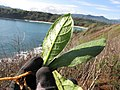Starr-130320-3302-Nicotiana tabacum-seedling-Mokolea Pt Kilauea Pt NWR-Kauai (25182696426).jpg