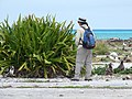Starr-150403-0352-Crinum asiaticum-hedge with Kim and Laysan Albatrosses-Near Pier Eastern Island-Midway Atoll (24649616623).jpg