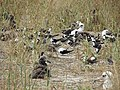 Starr-150403-1447-Brassica juncea-Forest and Sooty Terns and Laysan Albatrosses-Southeast Eastern Island-Midway Atoll (25277736935).jpg