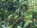 Starr-180406-0778-Litchi chinensis-immature fruit-DOFAW Arboretum Hilo-Hawaii (40474673555).jpg