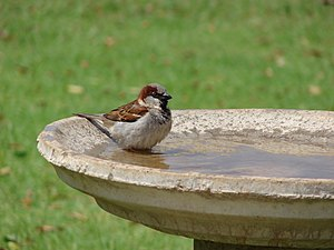 English: Male House sparrow in a birdbath in M...